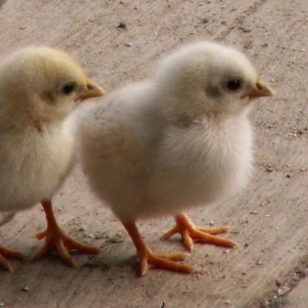 quality chicks